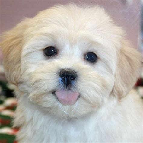 shihpoo puppy cut 22 best toby haircut ideas images on pinterest shih