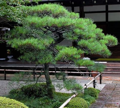 japanese black pine japanese landscaping plants bonsai niwaki pinterest gardens