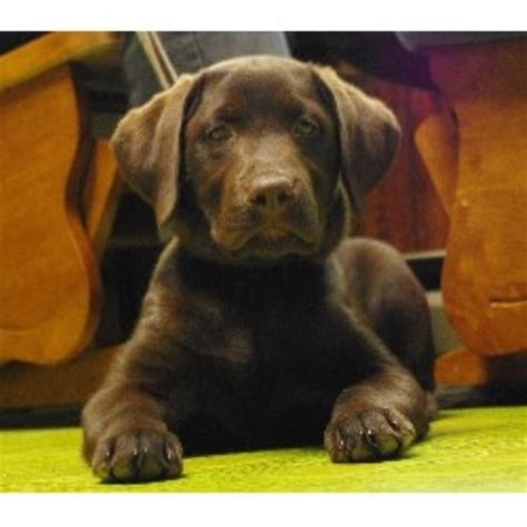 puppies for sale in maine labrador retriever lab breeders in maine freedoglistings