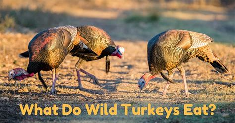 what do wild turkeys eat find out this bird s unique diet