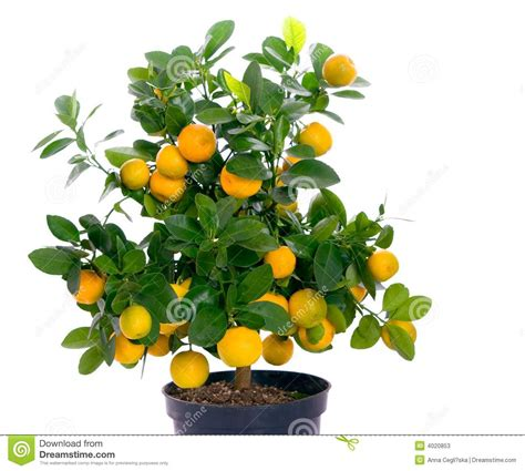 tree with small orange fruit thinking about getting a tangerine and a banana