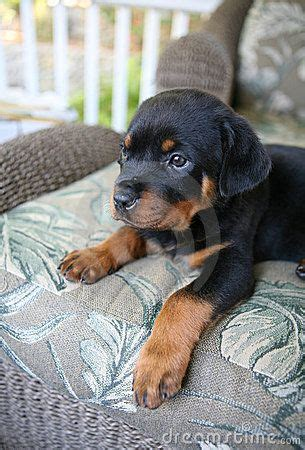 baby rottweiler pictures 25 best ideas about baby rottweiler on rottweiler puppies rottweilers