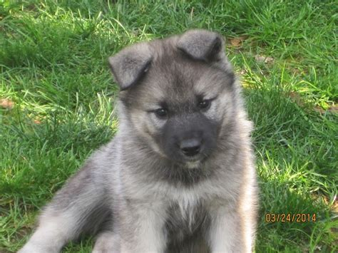 elkhound puppy image gallery elkhound puppies
