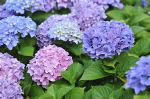 hydrangea colors coffee grounds 10 things you didn t about your garden garden and