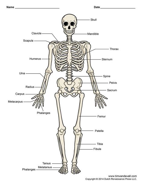 skeletons come out and places from drilling diagram of human skeleton labeled printable human skeleton