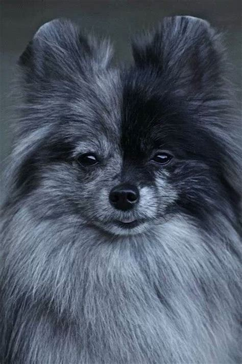 blue pomeranian puppies pin by breeds on blue merle pomeranian