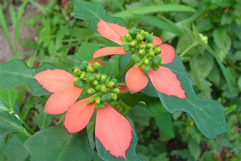 painted spurge scientific name euphorbia cyathophora