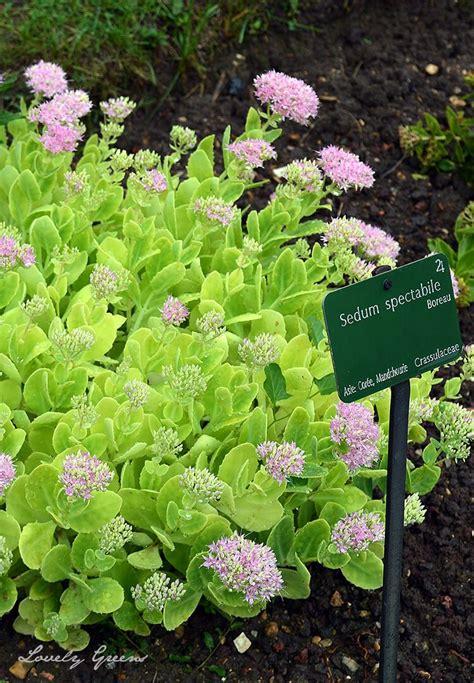 creating   sedum spectabile plant lovely greens