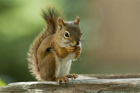 hair loss in squirrels why do squirrels lose their hair sciencing