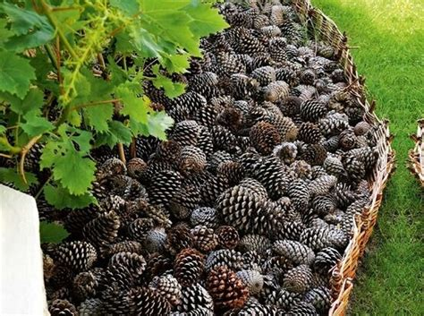 how to keep dogs out of flower beds keeps dogs out of flower beds use pinecones as mulch