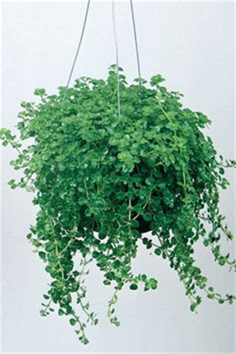 low light hanging plants indoors 1000 images about hanging plants on pinterest pilea