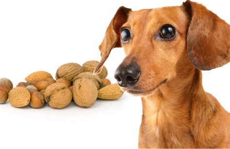 are nuts for dogs can dogs eat nuts like almonds cashews pecans peanuts acorns and walnuts