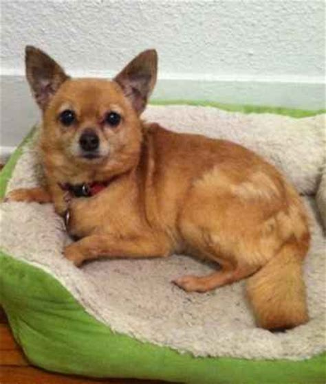 chihuahua pug mix characteristics ready for adoption dachshund fox terrier mixed medium picture breeds picture