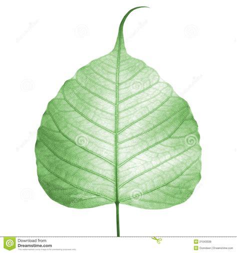 Bodhi Leaf green leaf vein bodhi leaf royalty free stock photo cartoondealer 19393125