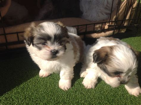 shih tzu 4 sale shih tzu x maltese puppies for sale wellington somerset pets4homes