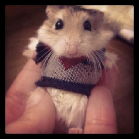 Hamster Sweater by 17 Best Images About Hamster On Guinea Pigs