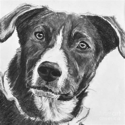 charcoal for dogs charcoal shepherd drawing by kate sumners