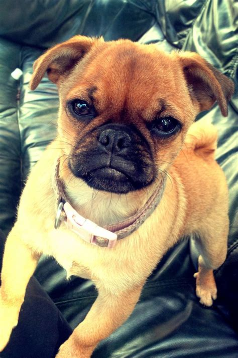 pug cross chihuahua for sale pug cross chihuahua cranbrook kent pets4homes