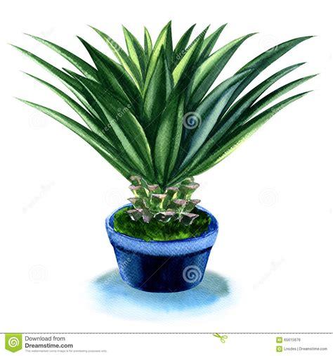 agave in vaso pianta dell agave in vaso isolato su bianco illustrazione