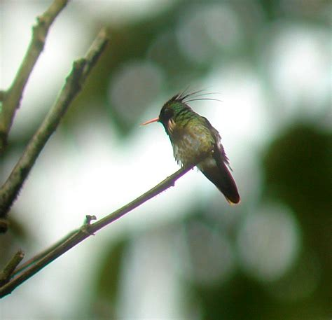 how many hummingbird species can you see in costa rica in