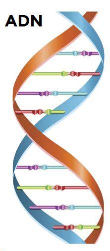 numero de cadenas del adn el adn es una mol 233 cula de doble cadena bicatenaria que