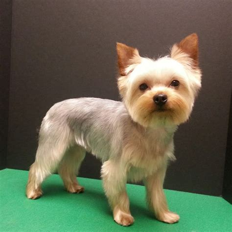 short hair yorkie dogs best 25 yorkshire terrier haircut ideas on pinterest