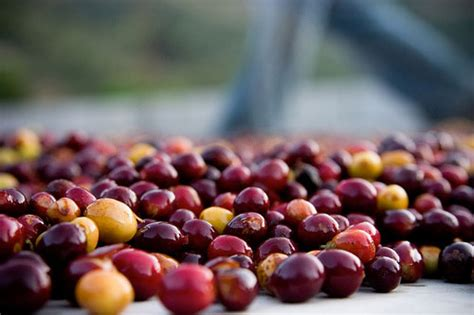 Kopi Arabika Yellow Caturra 250gr Flores mengenal pengolahan green bean process dan pulp specialtycoffee co id