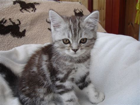 Absolutely Gorgeous Persian X Kittens For Sale   Crewe