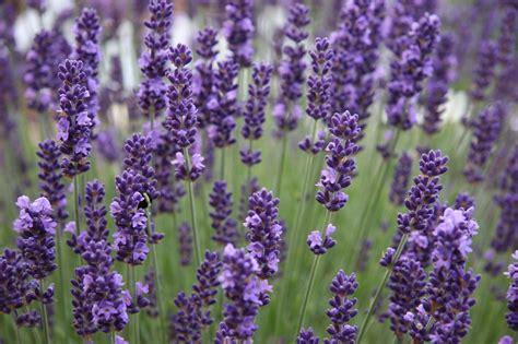 lavender english urban seedling