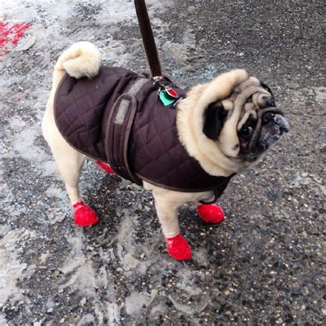 how to a pug to outside 11 dogs that are seriously done with winter and can t wait for it to be