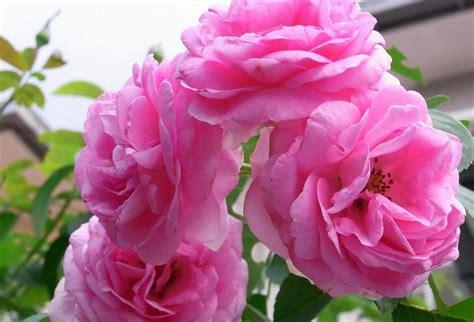 Pot 17 Cm Putih Pink Hijau Merah Biru Coklat Kuning gambar bunga mawar