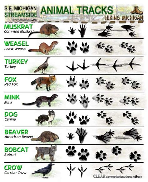 pin animal tracks identification identify footprints