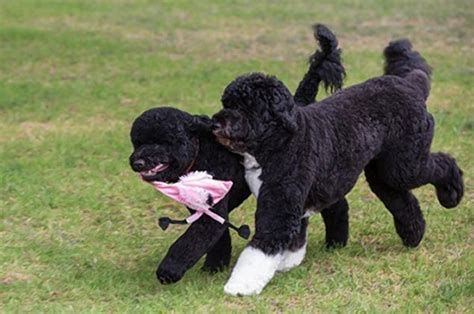 white house dogs names obama family gets new dog named sunny