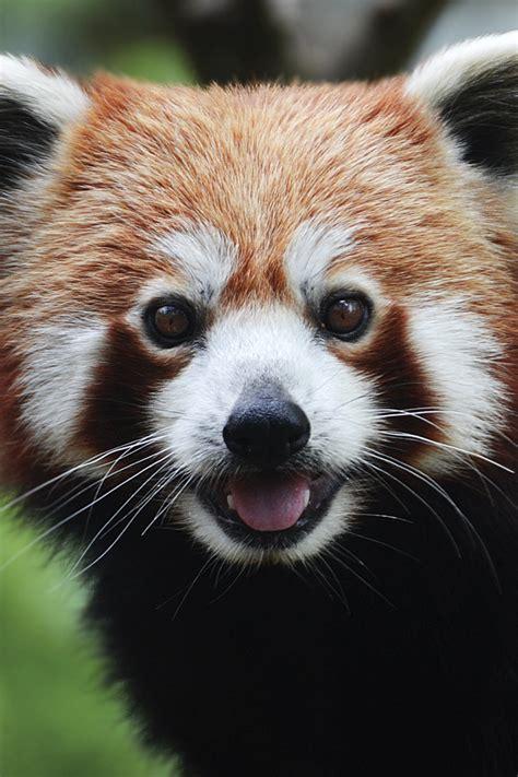 red panda wallpaper  iphone