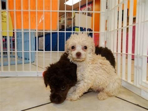 puppies for sale in connecticut standard poodle puppies for sale in hartford connecticut county ct fairfield