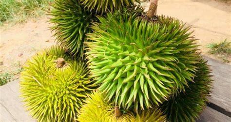 tahukah  durian hutan asli tumbuh  muba pelita