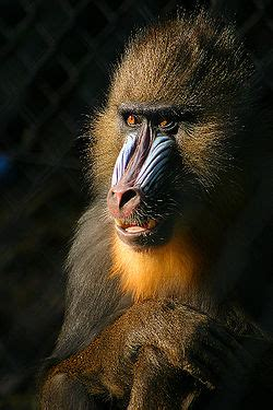 mandrilli wikipedia
