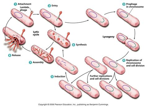 define induction in bacteria define induction microbiology 28 images microbiology