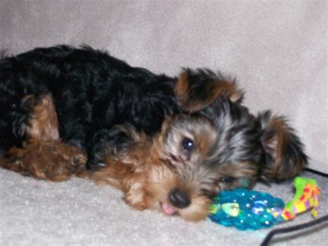 yorkie puppies in hawaii yorkie puppy laying next to its jpg hi res 720p hd
