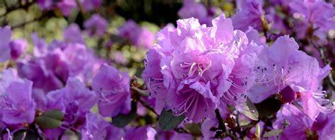 rododendro in vaso come coltivare le azalee in vaso e in giardino le
