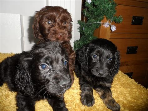 mini cocker spaniel puppies cocker spaniel x miniature goldendoodle puppies lowestoft suffolk pets4homes