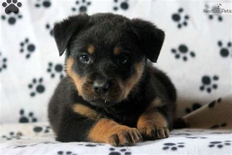 rottweilers for sale near me rottweiler puppy for sale near lancaster pennsylvania 0b53f9d1 6431