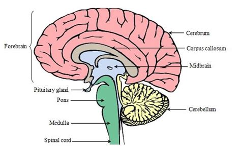 diagram of forebrain parts of the brain hindbrain image collections how to