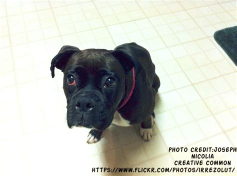 black boxer black boxer puppies boxer info and health tips