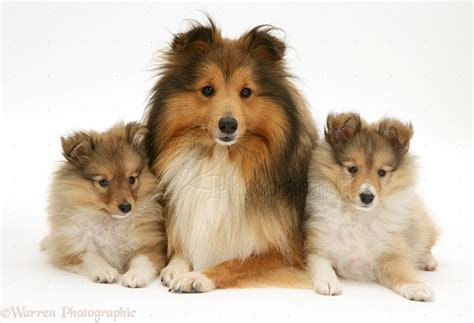 shetland sheepdog puppy canines of the shetland sheepdog breed stood guard for farmers in the shetland