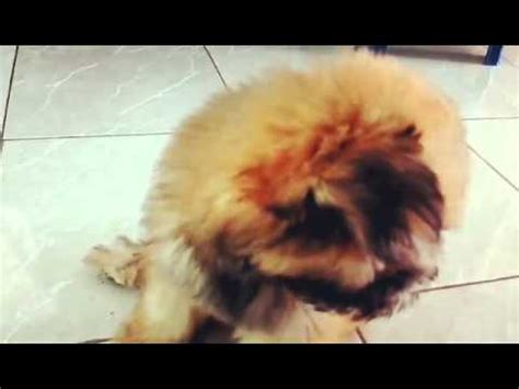shih tzu and chow mix meet chichi the chow chow shih tzu mix breed puppy