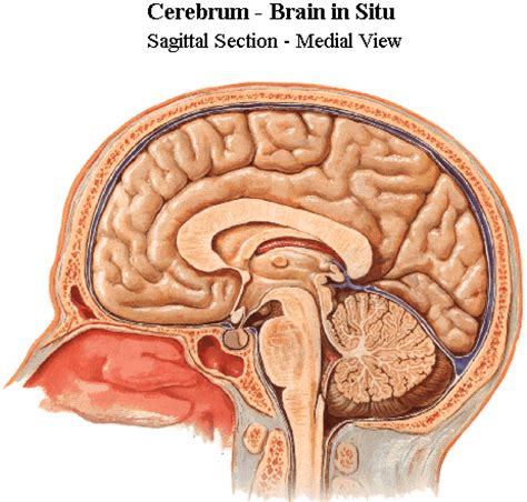 brain sagittal section brain