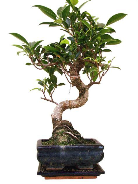 genki bonsai ficus fi7 6 genki bonsai