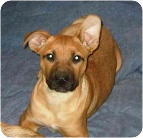 pitbull german shepherd mix puppies asia adopted puppy providence ri german shepherd pit bull terrier mix