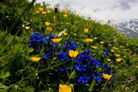 genziana fiore significato dei fiori la genziana pollicegreen
